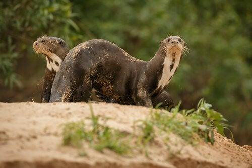 siedlisko wydry olbrzymiej