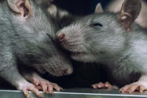 Dlaczego szczury nie ranią innych szczurów?