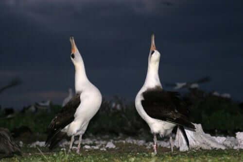 taniec albatrosów