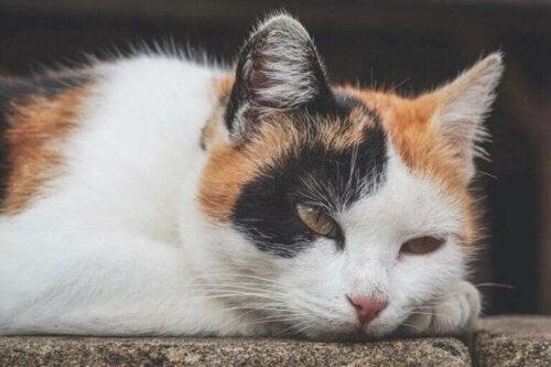 Anemia u kotów: objawy, przyczyny i leczenie