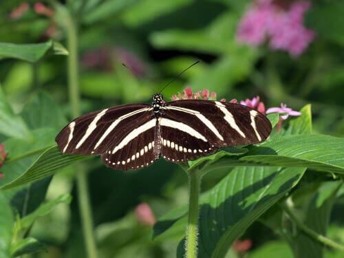 Heliconius charithonia, motyle