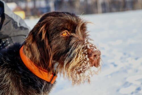 czeski fousek w śniegu