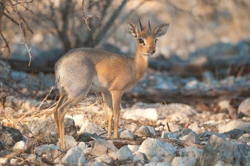 Dikdik srebrzysty - ochrona i zachowanie gatunku
