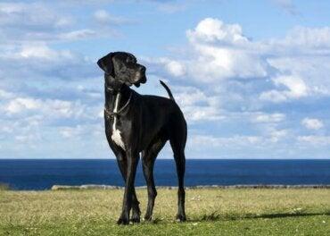 Duże psy - poznaj nasze ulubione rasy