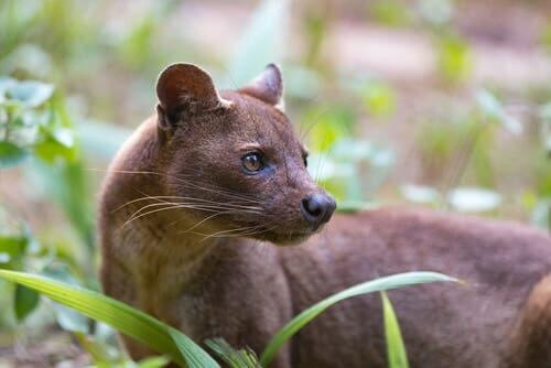 Fossa - dziwny drapieżnik z Madagaskaru