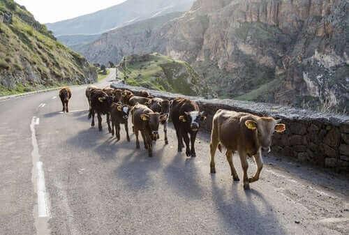 krowy na drodze