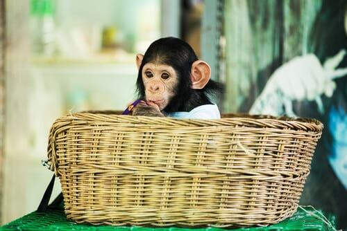 małpka w koszyku