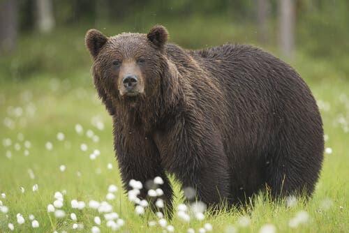 niedźwiedź brunatny, Hiszpania