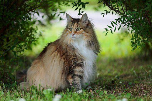 Norweski kot leśny: zaskakująco mało znana rasa