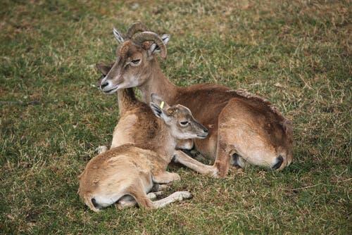 owce stepowe młode
