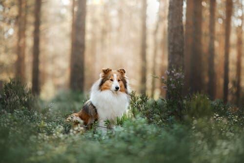 owczarek szetlandzki w lesie