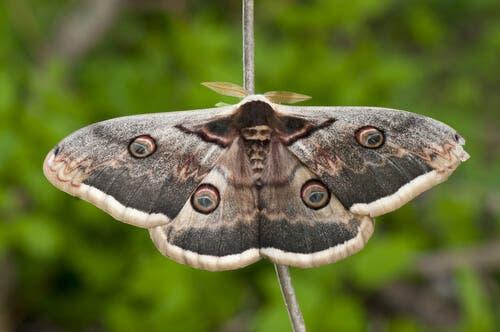 pawica gruszówka, motyle