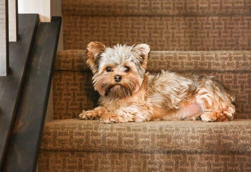 pies na schodach