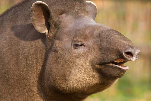 Tapir brazylijski – niezwykły krewny nosorożca