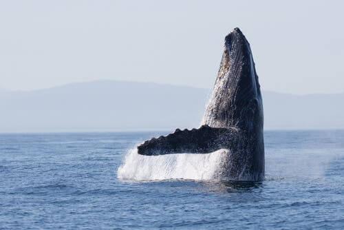 Szlaki migracyjne: wieloryby ciągle używają tych samych