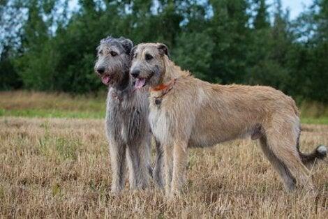 wilczar irlandzki, duże psy