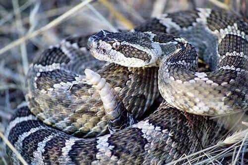 Grzechotnik: jadowity gatunek węża z Ameryki Północnej