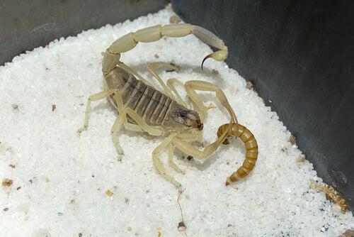 jedzący skorpion