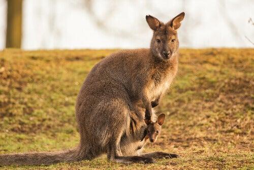 Kangur górski - charakterystyka gatunku