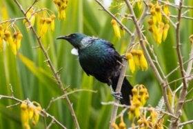 Kędziornik: zapylacz kwiatów z Nowej Zelandii