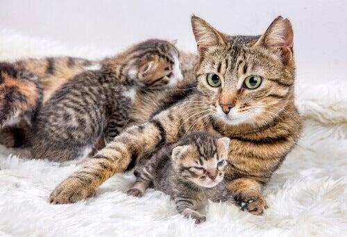 Kiedy i jak przenieść kotkę z młodymi?