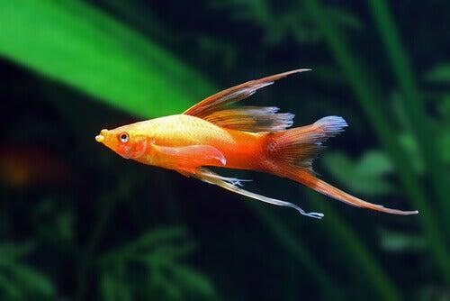 Ryba mieczyk: dieta i rozmnażanie