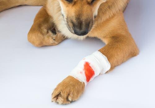 pies z chorą łapą tężec