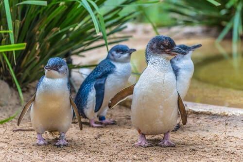 Pingwin mały - najmniejszy na świecie