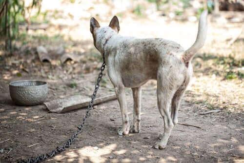 Pies na łańcuchu a niebezpieczeństwa z tym związane