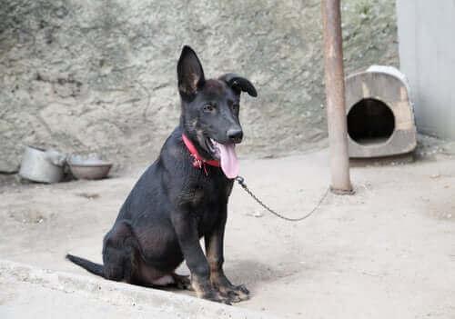 uwiązany pies pies na łańcuchu