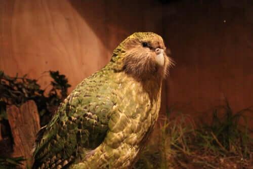 Gigantyczna papuga odkryta w Nowej Zelandii