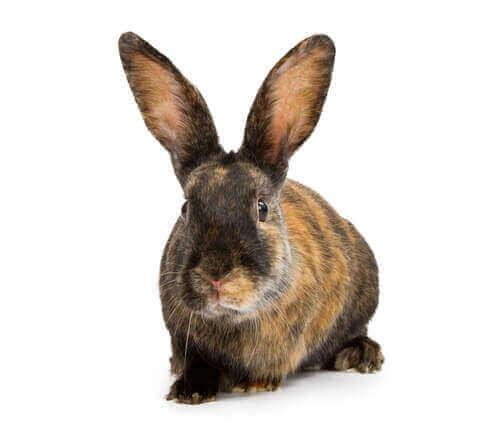królik arlekin