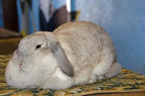 Otyłość u królików: objawy i przyczyny