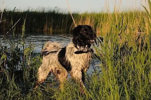 pies nad wodą