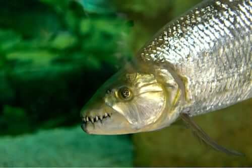 Hydrocynus goliath: afrykański tytan słodkich wód