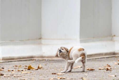 Świerzb u szczeniaka: przyczyny i objawy