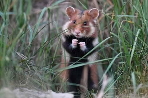 Chomik europejski: ssak w śmiertelnym niebezpieczeństwie