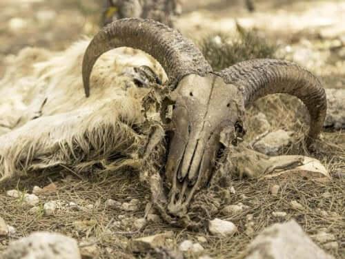 czaszka owcy grzywiastej