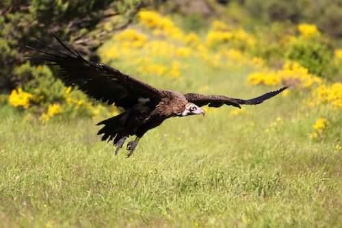 czarny sęp i park Guadarrama