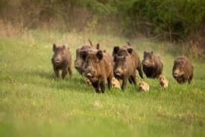 ośrodki rehabilitacji dzikich zwierząt a dziki