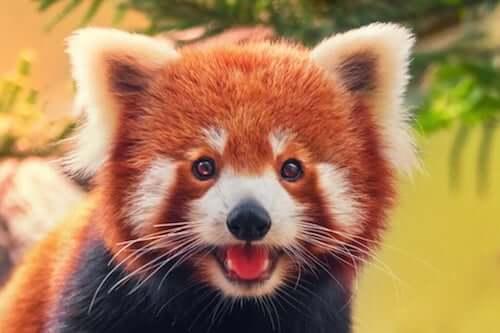 Pandka ruda i jej zachowanie - poznaj ją lepiej