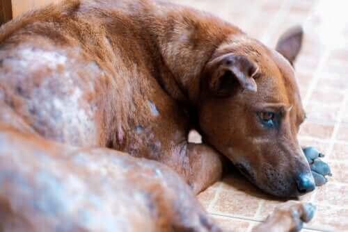 pies chory na świerzb