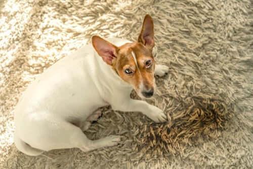 Psy oddają mocz w domu ? Pięć głównych powodów
