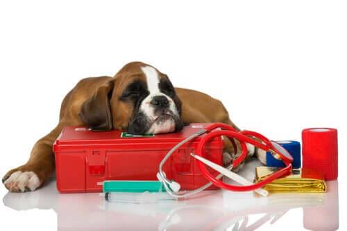 Posocznica u psów: objawy i leczenie