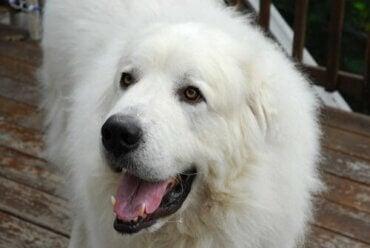 Pirenejski pies pasterski: wszystko, co musisz wiedzieć