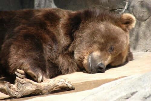 śpiący niedźwiedź, zwierzęta, które robią zapasy
