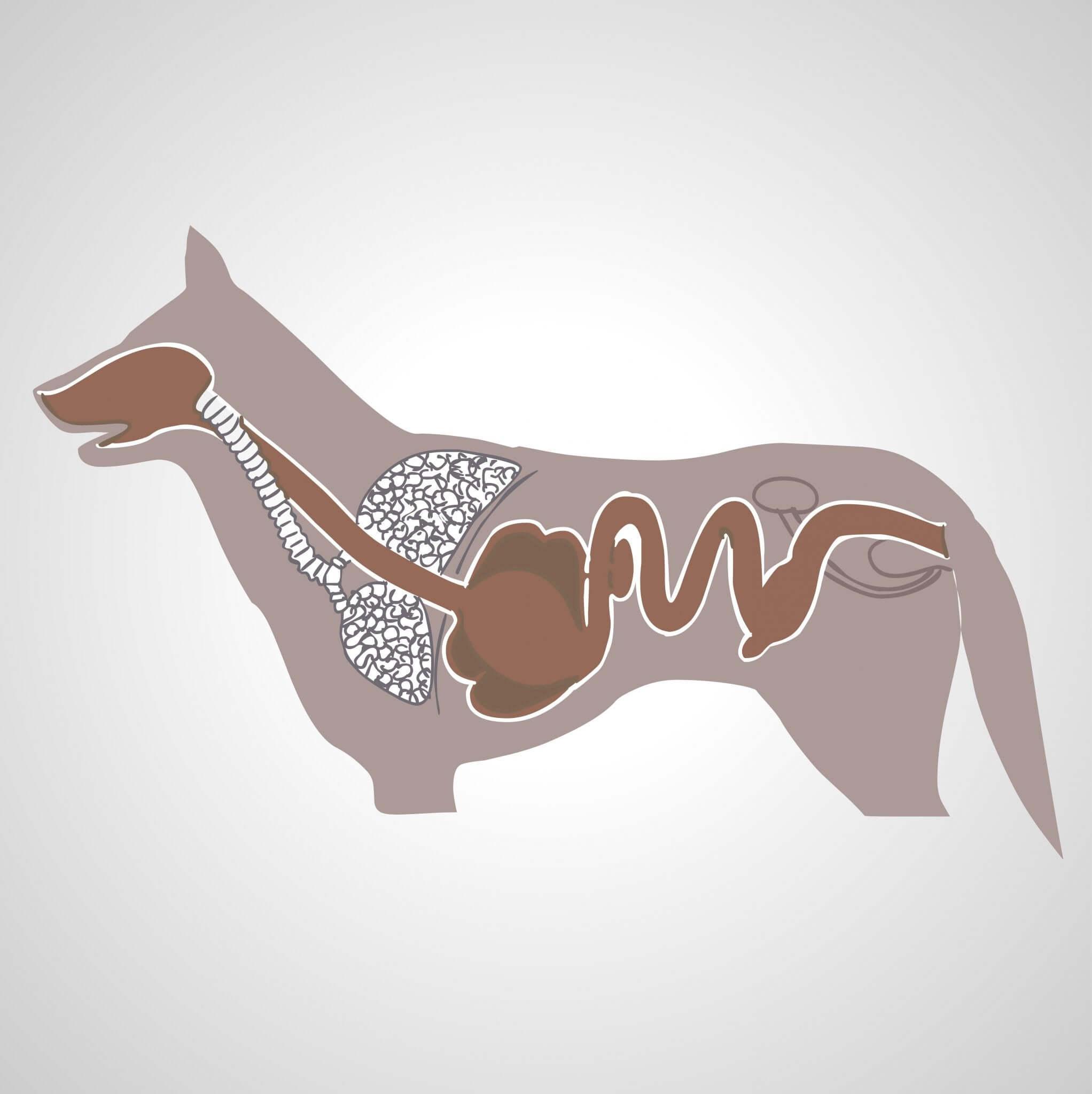 układ trawienny psa