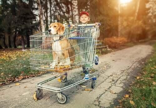 beagle w wózku