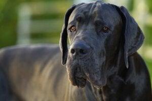 Dlaczego duże psy żyją krócej niż małe psy?