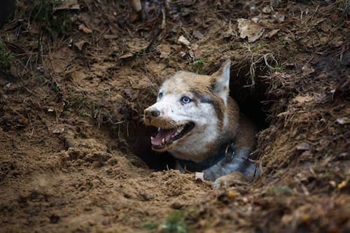 pies w dole